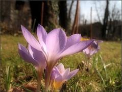 (Tölgyesi Kata) Tags: spring crocus sáfrány krókusz purpleflower budapestfüvészkert botanikuskert botanicalgarden withcanonpowershota620 blossom macro tavasz