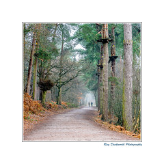 A walk in Delamere Forest (rayduckworth) Tags: landscape bracken trees pinetrees footpath people couple goingape winter mist