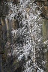 Silver Birch at Knarr Quarry (Keartona) Tags: tintwistle glossop derbyshire england pennines hills snowy snow winter landscape january morning beautiful nature trees quarry knarrquarry rockface silverbirch birch branches