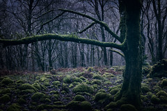Soft & Dark (shawn~white) Tags: 50mm canon6d ef50mmf18stm nik nature alteredstate ancient calm cold cool dark deciduous dreamy enchanting filmlook forest forestry green hardwood magical moody moss mystic mystical nostalgia oak reminisce reminiscing serenity tree trees vintage winter wood woodland woods