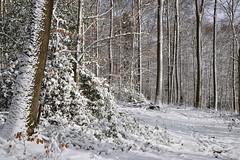 L'hiver dans la forêt (Excalibur67) Tags: nikon d750 sigma globalvision art 24105f4dgoshsma forest foréts arbres trees nature neige snow houx vosgesdunord bois sousbois blanc white