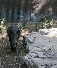 _MG_0732 (Nicolás Zavala) Tags: tapir zoo zoológico sad place mexico méxico