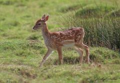 Fallow deer fawn (vickyouten) Tags: fallowdeer deer fawn babydeer nature wildlife canon canon1300d dunhammassey altrincham uk vickyouten