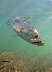 Sea trout (Cynoscion nebulosus) 091127 Norris Cut IMG_1645 (utmsimedia) Tags: sea trout biggs acoustic hurricane utmsi marine science