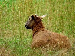 Brown Sheep (~~Chuck's~~Photos~~) Tags: chucksphotos canonsx60 female sheep amish neighbors animals aroundthefarm exploringkentucky outdoors grass closeups kentuckyphotos autumn ourworldinphotosgroup earthwindandfiregroup photosthruyourlensgroup solidarityagainstcancergroup