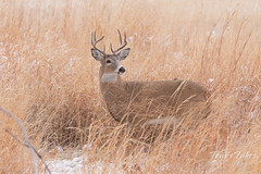 White-tailed Deer in the grass