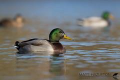 Mallard (Matt Hazleton) Tags: mallard duck water waterfowl waterbird anasplatyrhynchos bird nature animal outdoor wildlife matthazleton matthazphoto canon canoneos7dmk2 canon100400mm eos 7dmk2 100400mm