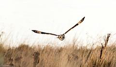 Early afternoon SEO (Steve (Hooky) Waddingham) Tags: animal countryside coast bird british nature northumberland mice voles flight wild wildlife prey owl