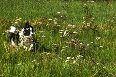 Galloping Through the Umbellifers! (sharongellyroo) Tags: umbelliferwednesday huw dodge bordercollie rescue glemsford suffolk walkies