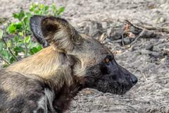 Painted Wolf Profile (PhilHydePhotos) Tags: africa safari sandriver selousgamereserve tanzania wildlife