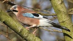 Jay 101218 (8) (Richard Collier - Wildlife and Travel Photography) Tags: birds british britishbirds wildlife naturalhistory nature uptoncountrypark jay