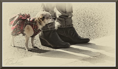 WinterWarmDog_8120 (bjarne.winkler) Tags: warm little dog is waiting for this year christmas parade ione ca