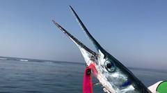 Winter times (Tee Maj) Tags: needle fish fishing breathing dying die casting lure lures silver aggressive predator pelagic