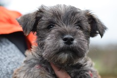 ONe (7) (AlmostHome_Dog) Tags: almost home dog rescue north wales puppy puppies pup pups westie yorkie west highland terrier yorkshire