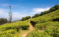 Path Through Tea-Plantation (Dan Fawcett) Tags: tea plantation