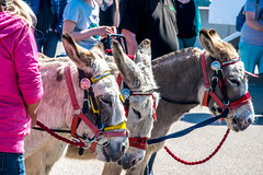Traditions (Tony Shertila) Tags: wallasey england unitedkingdom 20180505120400wirralnewbrightonlr europe britain merseyside wirral newbrighton donkey donkeyrides animal three mammal festival
