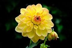 Blume 06 (Sebastian Ukas) Tags: britzergarten fujifilm xh1 xf80mm gelb makro
