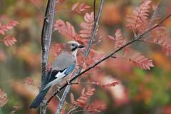 1809264-14 pm (Kjell Arild Dokka) Tags: spurvefugler kråkefugler nøtteskrike garrulus glandarius norge nerdly