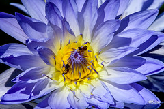 Tropical Water Lily (jt893x) Tags: 150600mm aquaticplant bee d500 flower insect jt893x lily macro nikon nikond500 plant sigma sigma150600mmf563dgoshsms tropicalwaterlily waterlily coth alittlebeauty thesunshinegroup coth5