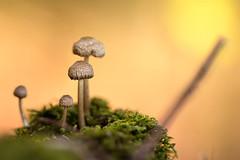 Small size (Soloross) Tags: macro bokeh nature mushroom funghi natura canon bellezza beauty bosco forest