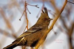 Phainopepla 4 (ahmed_eldaly) Tags: sandiego california usa nature birds birding wildlife photography egyptianphotographer