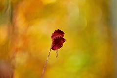 Autumn red (Stefano Rugolo) Tags: stefanorugolo pentax k5 pentaxk5 ricohimaging helios44258mmf2 helios442 helios m42 autumnred autumn red depthoffield bokeh fall leaves isolation shallowdof colors manualfocuslens manualfocus manual vintageprimelens vintagelens abstract minimal