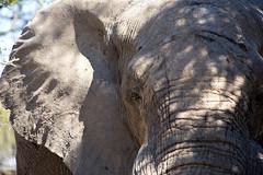 "Eye-to-Eye_5462 (hkoons) Tags: chobenationalpark dizhanacampsite firstbridge khwairiver southernafrica thirdbridge africa botswana elephant magwee animal animals beast herbivore horn horns ivory mammal outdoors pachyderm trunk ""moremigamereserve"