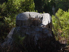 Baumstumpf; Esperanza, Teneriffa (5) (Chironius) Tags: spanien teneriffa spain испания españa tenerife holz wood legno madera bois hout baum bäume tree trees arbre дерево árbol arbres деревья árboles albero árvore ağaç boom träd