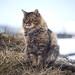 Looking away siberian cat on hay