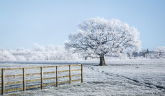 A Tad Frosty (peterwilson71) Tags: cold frosty fence tree lonetree daybreak exposure grass ice light sky landscape leaf moss nature outdoors old travel view wild