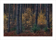 Untitled (Nigel Morton) Tags: woods wood woodland broxbourne hertfordshire landscape fall autumn hidden pine pines birch birches bracken dusk dark