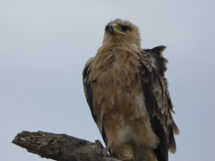 Tawny eagle - Aquila rapax ? (Linda DV (away)) Tags: aquilarapax tawnyeagle accipitriformes lindadevolder travel africa tanzania 2018 nature victorialake geotagged fauna flora serengeti