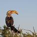 Südlicher Gelbschnabeltoko / Yellow-billed Hornbill