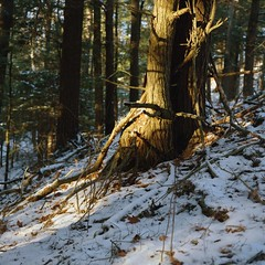 Pine Tree Trunk and Snow (azhukau) Tags: mamiya mamiyac220 sekor105mmf35ds tlr analog analogphotography vintagecamera film filmphotography porta800 outdoors forest woodland tree pine trunk winter snow shadows treescape kodak landscape