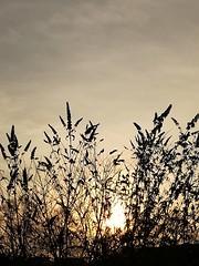 Early doors (daveandlyn1) Tags: sun sunrise buddleia shrubs wintersun bluesky smartphone p8lite2017 psdigitalcamera cameraphone pralx1 huawei lightdark