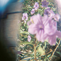 Backyard Flowers (H o l l y.) Tags: lomography 120mm film analog square purple refraction reflection weird nature landscape flower plants garden retro indie vintage color bright summer pretty lovely