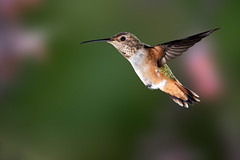 Hummingbirds Galore (Patricia Ware) Tags: allenshummingbird backyard birdsinflight california canon fullframe manhattanbeach multipleflash selasphorussasin tripod ©2018patriciawareallrightsreserved specanimal sunrays5