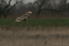 Short Eared Owl-2624 (WendyCoops224) Tags: 100400mml 80d fens winterwatch canon eos ©wendycooper short eared owl asio flammeus