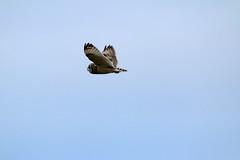 IMG_4563 (monika.carrie) Tags: monikacarrie wildlife scotland forvie shortearedowl seo