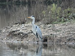 Heron (Deanne Wildsmith) Tags: heron croxalllakes staffordshire bird earthnaturelife