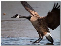 Canada Goose (Betty Vlasiu) Tags: canada goose branta canadensis bird nature wildlife
