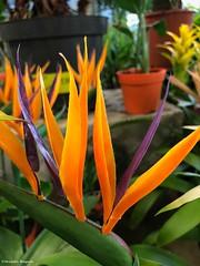 oiseau-du-paradis© (alexandrarougeron) Tags: photo alexandra rougeron flickr fleurs nature plante végétal végétale ville beauté couleur frais