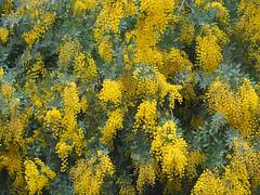 Backyard Color--Explored (Grazerin/Dorli Burge) Tags: tree acacia leaves blooming backyard mandevillecanyon losangeles californiawinter mimosa explore explored yellow