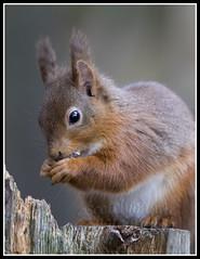 IMG_0062 Red Squirrel (Scotchjohnnie) Tags: redsquirrel sciurusvulgaris squirrel squirrelphotography mammal rodent wildanimal wildlife wildlifephotography wildandfree nature naturephotography canon canoneos canon7dmkii canonef70200mmf28lisiiusm scotchjohnnie
