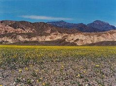 Death Valley (D.W. Berger Photography) Tags: deathvalley nevada dwbergerphotography california shotonfilm film analog apug fuji nvmag nv wildflowers
