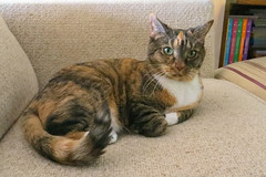 Gracie 6 November 2018 1428Ri 4x6 (edgarandron - Busy!) Tags: gracie patchedtabby cat cats kitty kitties tabby tabbies cute feline