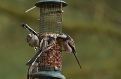 Long Tailed Tits (Donald Douglas) Tags: long tailed birds