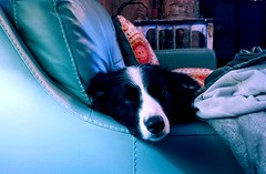 Now A Nap.. (lillypotpie) Tags: bindi bordercollie blackandwhite dog pet expression nap couch face