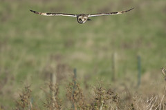 Hunting above the verge (Ade Ludlam) Tags: short eared owl raptor bird prey somerset nature wildlife nikon d7200 sigma sigma150600
