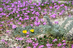 Yellow and blue blooms (afagen) Tags: california pacificgrove montereypeninsula asilomar beach asilomarstatemarinereserve flower